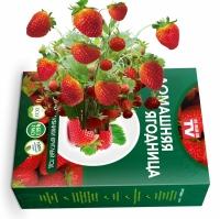 Домашний урожай Голландская Клубника, набор для выращивания ягод
